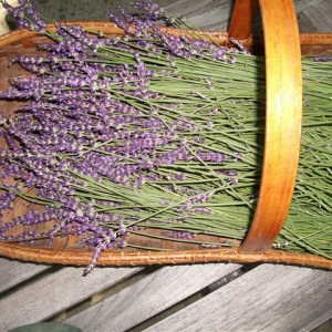 French Dried Lavender French Stems (Buds) for crafts, arrangements and bouquets.