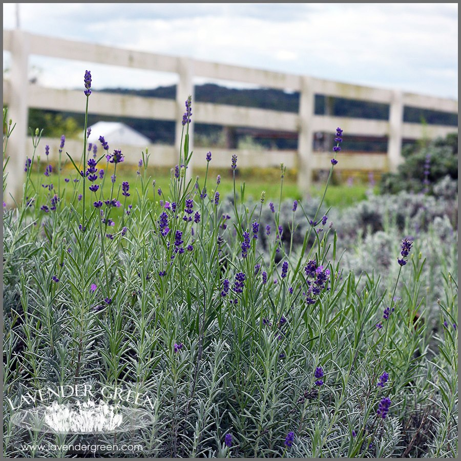 Lavender Green - We grow organic Lavender Flowers for natural products, lavender oils and sleep relaxation.