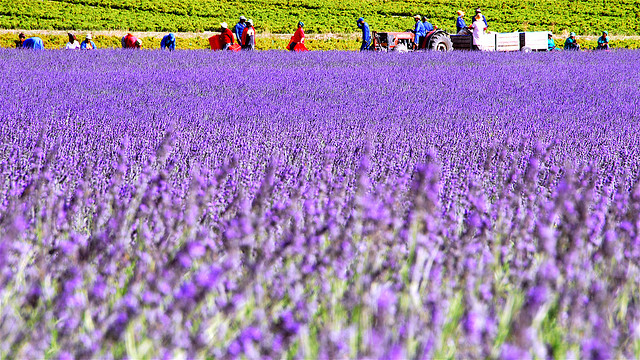 Farmers picking on lavender fields outside of Franschoek, South Africa.